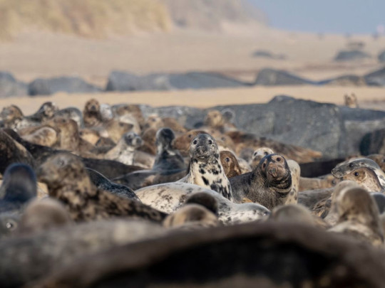 A grey seal colony pictured in Norfolk