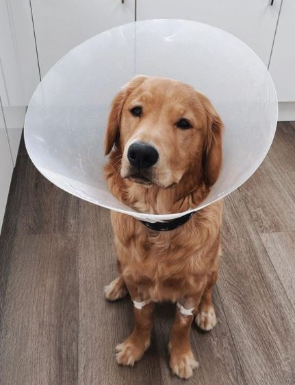 Puppy needs emergency surgery after swallowing AirPods - but they still work when they're removed
