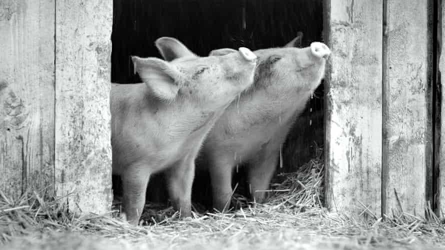 Two piglets enjoying the rain