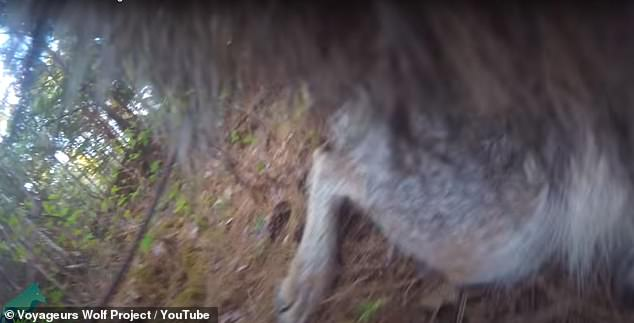 Much of the wolf's activity was obscured by its fur covering the camera lens - but researchers still gained important insights into the animals' behavior