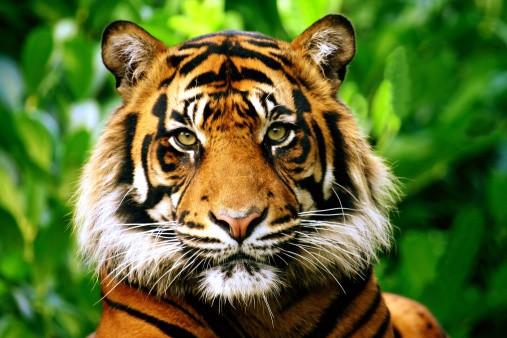 A orange and black striped tiger in a green jungle.