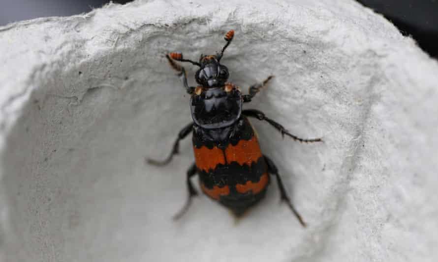 Nicrophorus investigator, a type of banded burying beetle