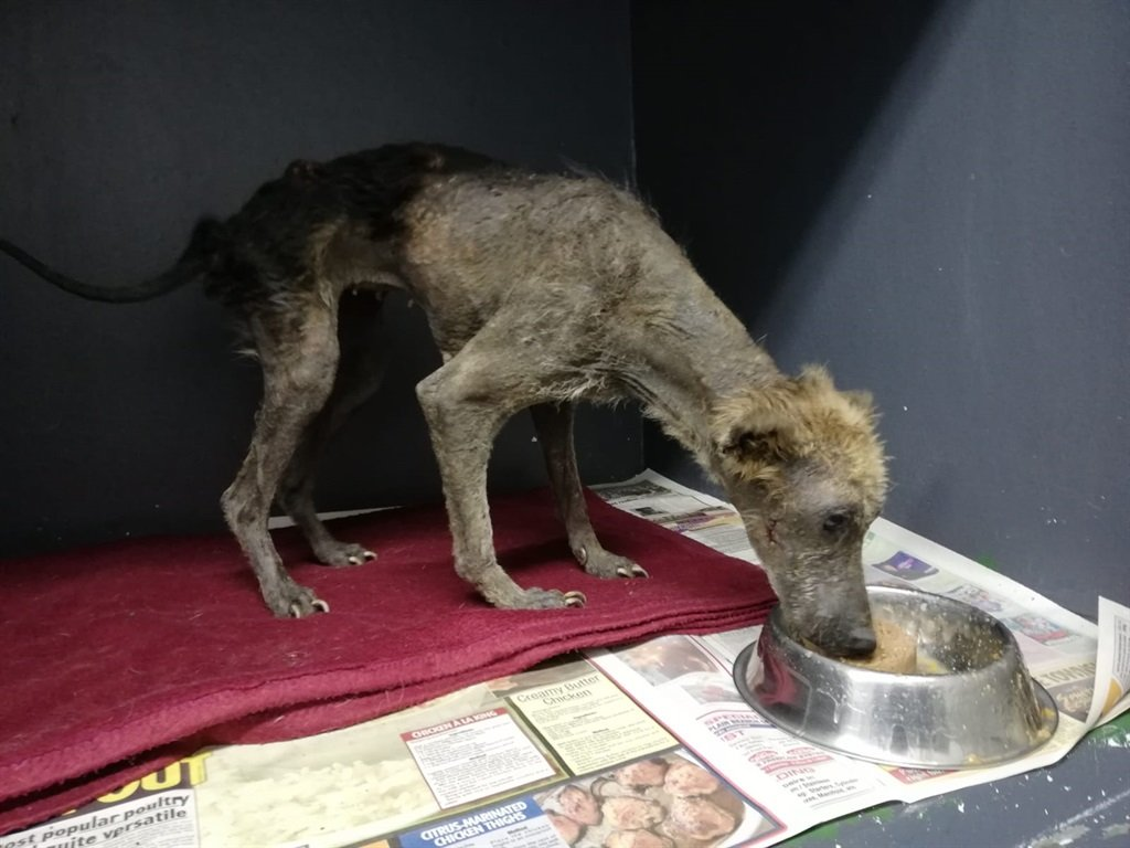 Kuhle the dog was taken to the Animal Welfare Society for treatment after suffering terrible neglect.