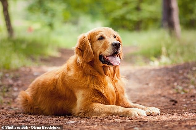 Anecdotal evidence from owners is now backed up by scientists which have found pet pooches get jealous when their human strokes another dog (stock)