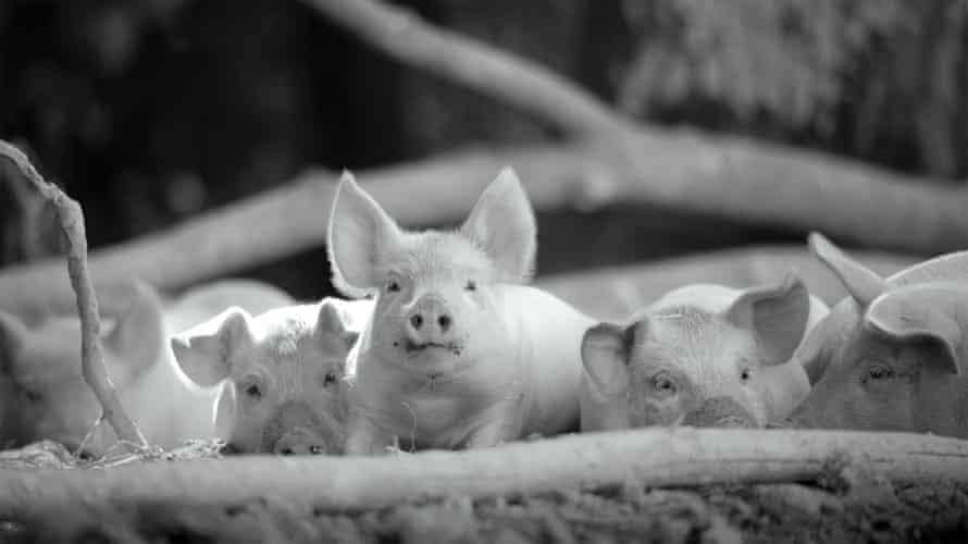 This entirely wordless 93-minute film follows the daily existence of a sow and her piglets.