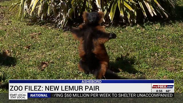Lemur who lost his mate is happy again now he has new pal