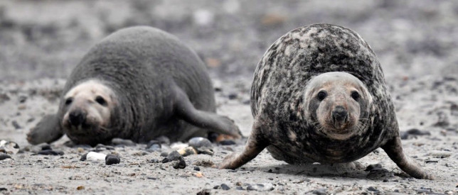 Record number of grey seals spotted on UK beach