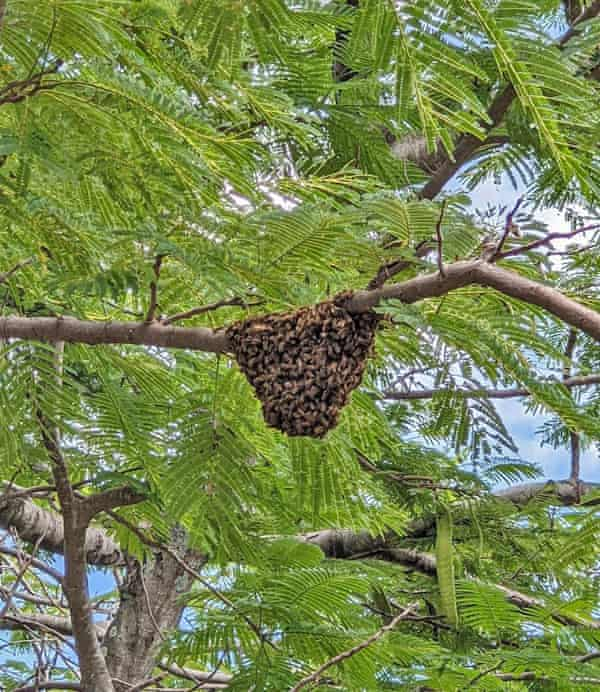 The swarming mass of bees on the poinciana tree.