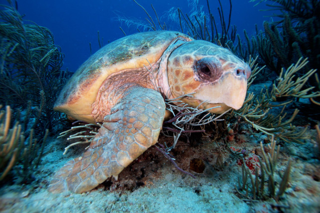 Loggerhead turtles, Caretta caretta, can be 3 feet long and weigh 350 pounds. Their large head and powerful jaws crush a diet of crabs and mollusks on the reef, Florida, Atlantic Ocean. (Photo by: Mark Conlin/VW PICS/UIG via Getty Image)