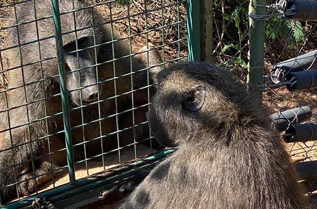 jeffrey the baboon