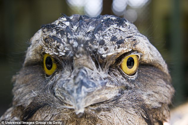 The frogmouth (Podargus) is well camouflaged in its native woodland habitat. It was given the title of 'the world's most unfortunate-looking bird' in 2004