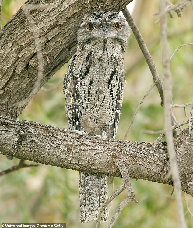 Tawny frogmouth, Podargus strigoides, daylight roosting in tropical eucalypt woodland, Mount Carbine, North Queensland, Australia