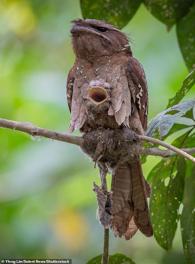 Pictured is a large frogmouth chick appears to be smiling - but its mother doesn't look quite as thrilled. Photo taken inLanchang, Pahang, Malaysia