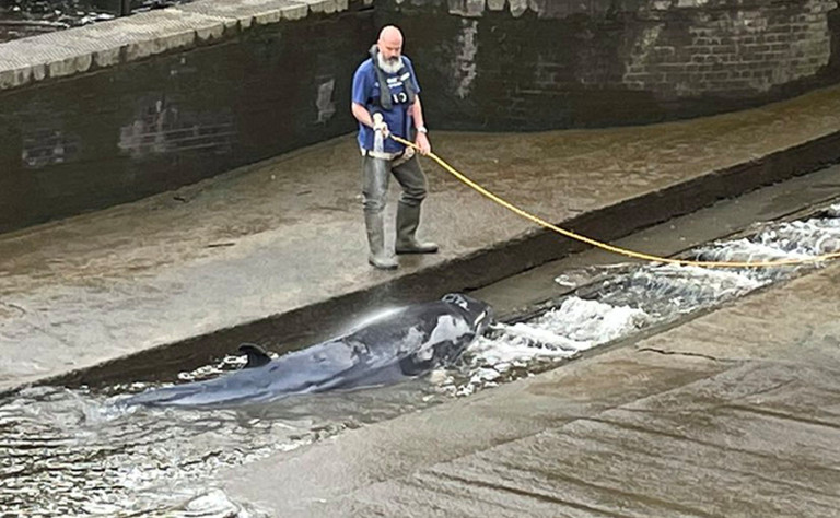 A small whale, believed to be a Minke whale, being hosed down after it stranded at Richmond Lock and Weir on Sunday along the River Thames in south-west London.