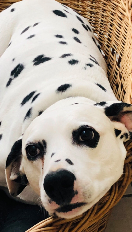 Dalmatian Lily, 13, got accustomed to having her human at home with her for the year of lockdown - then when it lifted, she suffered sever separation anxiety and ended up on a drip at the vets (Picture: Sophie Banks)