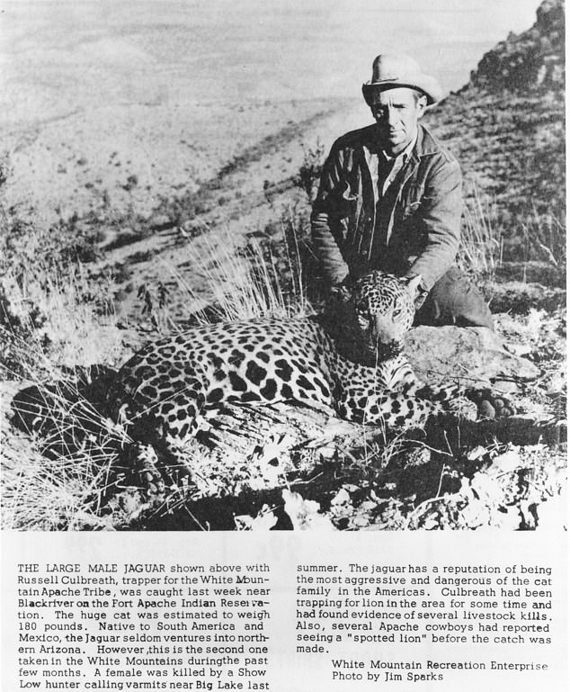 The jaguar is listed as endangered in the US, as well as Mexico. Only seven adult males have been spotted in the wild since 1996 and the last female was killed in 1963 (pictured) by an Arizona hunter near Big Lake in the White Mountains