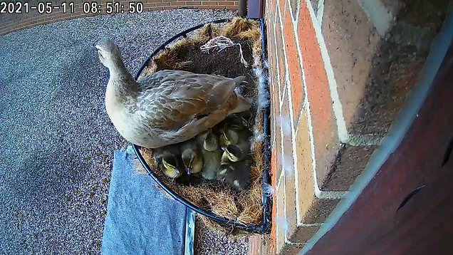 Ducklings make 5ft leap of faith after being born in a hanging basket