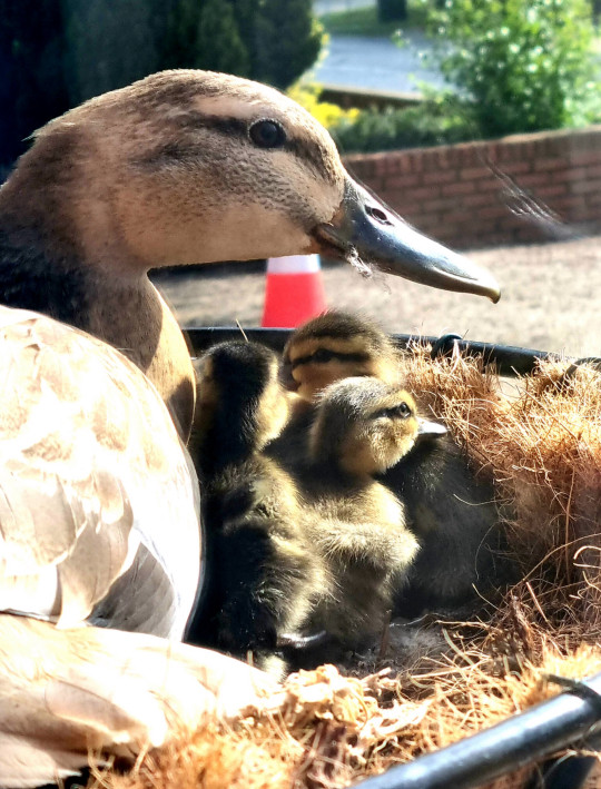 Delighted office workers watched with joy as ten adorable ducklings were hatched and then took a leap of faith - from a hanging flower basket. See SWNS story SWCAducklings; Staff at van conversion company Fleetshields, in Colchester, Essex, were surprised to return to work after the Easter weekend to find one of the hanging baskets empty, with flower petals scattered on the ground. And they couldn't believe their eyes when they peered into the basket - to see a few tiny eggs nestled inside. Over the next couple of days, they watched as a mallard duck kept returning to the basket, which was five feet off the ground, to continue to lay more eggs. And after she had laid ten eggs, the mother duck settled herself inside the basket to incubate them for 25 days.