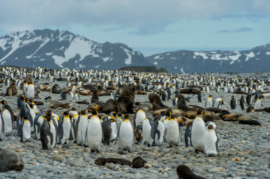 Antarctic fur seals and King penguins on beach at Salisbury Plain on South Georgia Island, Sub-Antarctica