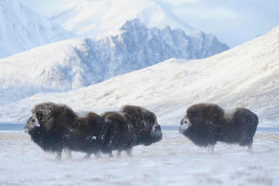 Musk oxen at Zackenberg Research Station in northeastern Greenland.