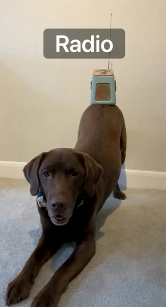 ollie the chocolate labrador balancing things on his butt