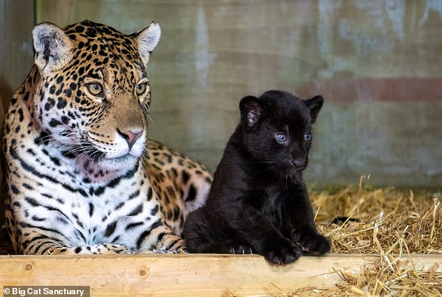 Baby pictured with her mother Keira.Keira was born at the Paradise Wildlife Park in 2017, before coming to the Big Cat Sancutary in 2019, where she was paired with Neron