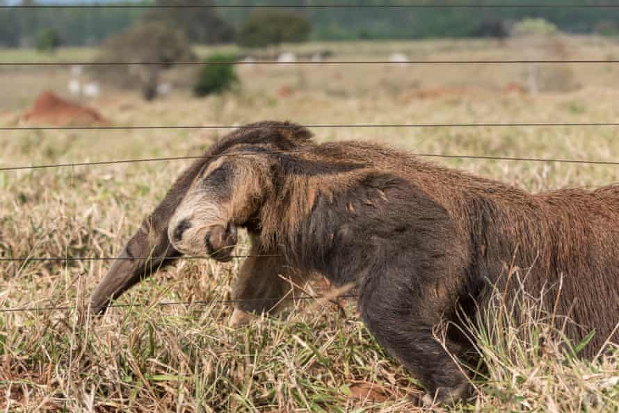 A giant anteater climbs a cattle fence.