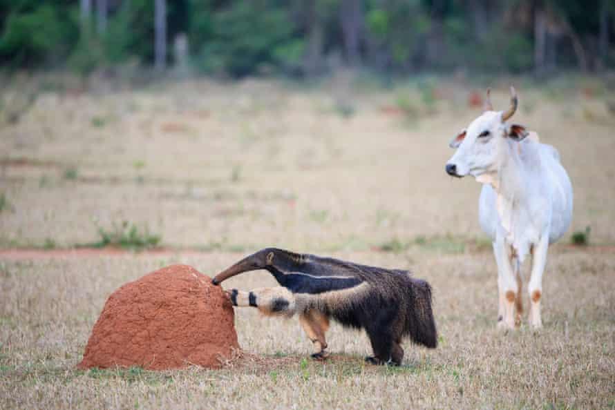 A giant anteater explores a termite hill next to a zebu