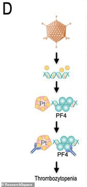 They claim the vaccine (top orange figure) is sent into the cell nucleus (Pt) instead of surrounding fluid, where parts of it break off and create mutated versions of themselves (PF4), which leads to the blood clots