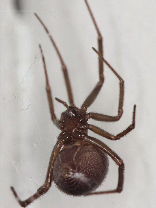 Warnings over noble false widow spider bites as numbers surge