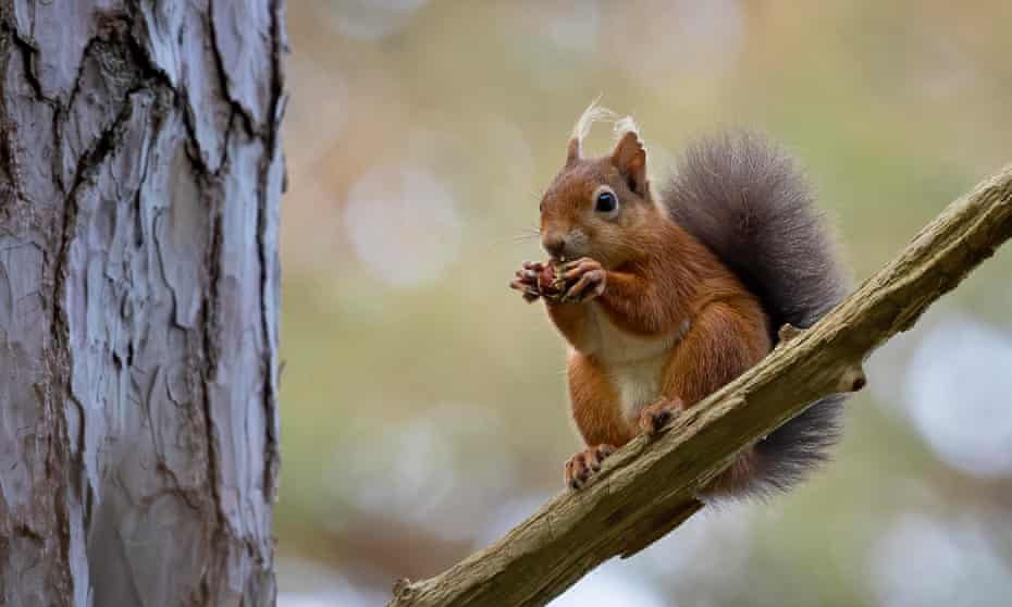 Red squirrel at Brownsea Island. Image by Emma Healey
