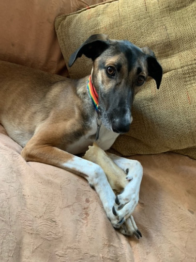 Hendrix the lurcher has become used to having his people around during the pandemic and now suffers anxiety if he is left alone even just for short periods (Picture: Kimberley Johnson)