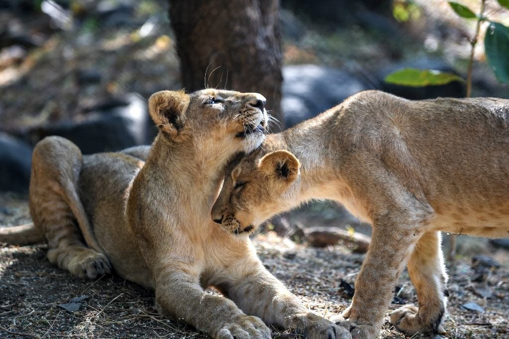 Lion cubs in their open enclosure at the Sakkarbaug Zoological Garden, which takes part in a captive breeding programme for endangered Asiatic lions, in Junagadh.