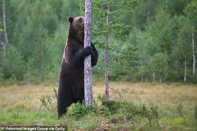Brown bears that rub up against more trees than their peers or 'dance' against the tree have more cubs and more partners, according to a new study.