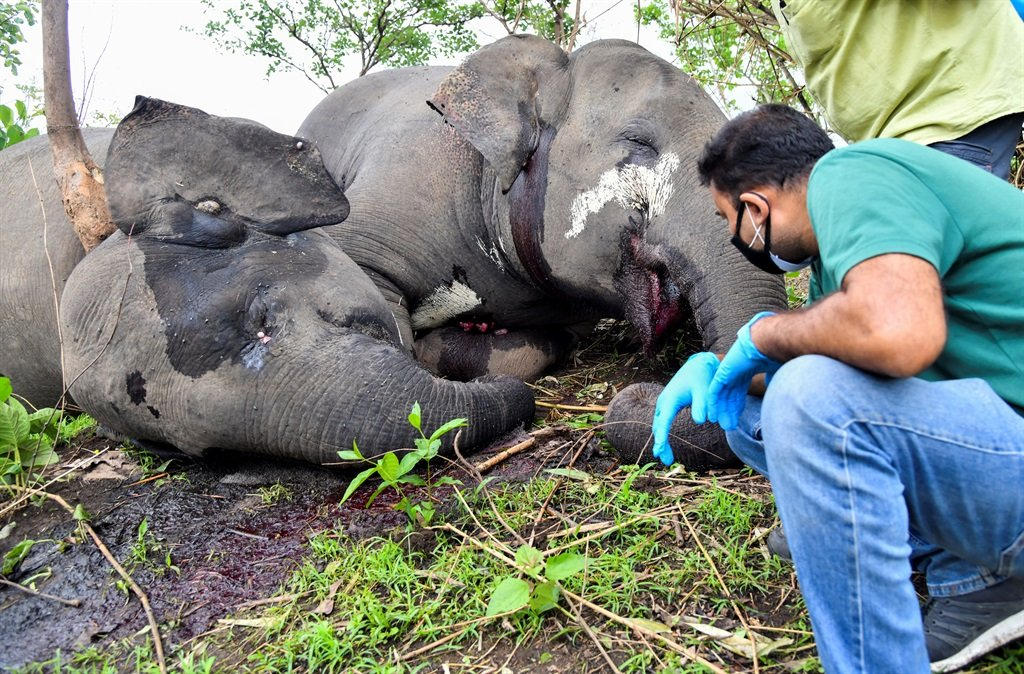 A veterinarian checks the dead bodies of wild elephants, suspected to have been killed by lightning, on a hillside in Nagaon district of Assam state on 14 May, 2021.