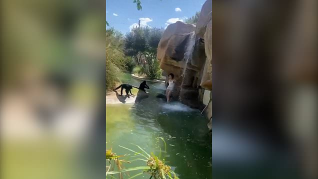 Moment woman jumps into monkey enclosure to feed them Hot Cheetos