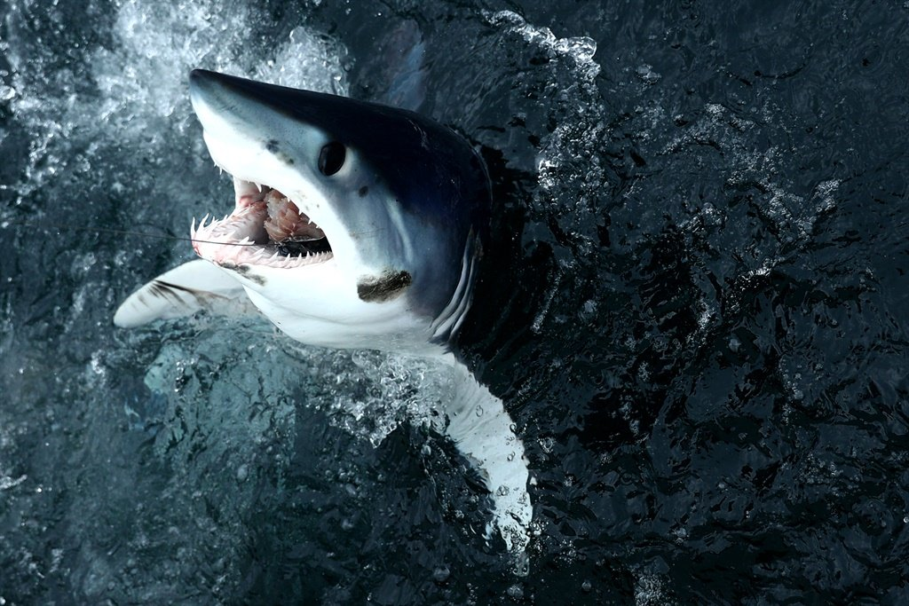 A shortfin mako shark emerges from the water.