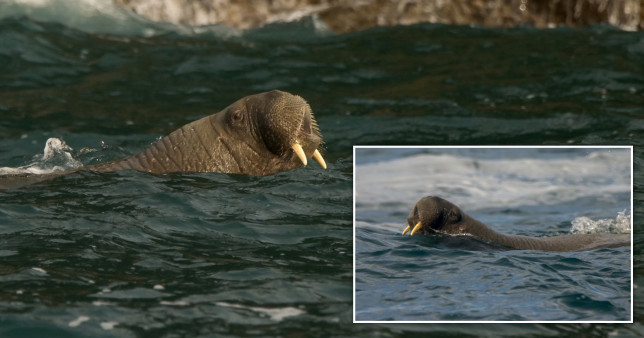 Wally the Walrus is thought to have been spotted in Cornwall