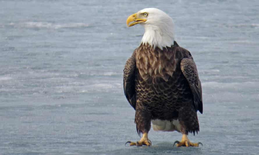 A bald eagle stands on a frozen lake in Luck, Wisconsin, in March 2021.