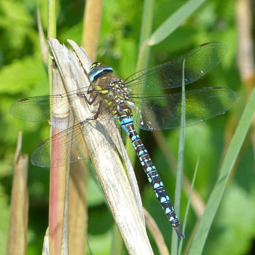 Dragonfly at Wicken Fen national nature reserve, Cambridgeshire, UK.