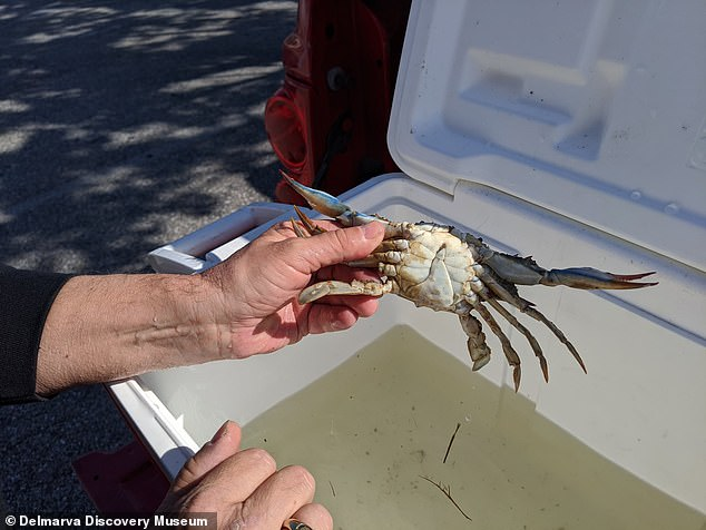 The crab's apron is split right down the middle, between the male 'T' shape and female 'U' form