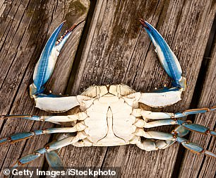 The male blue crab is distinguishable by his blue claw tips and T-shaped apron