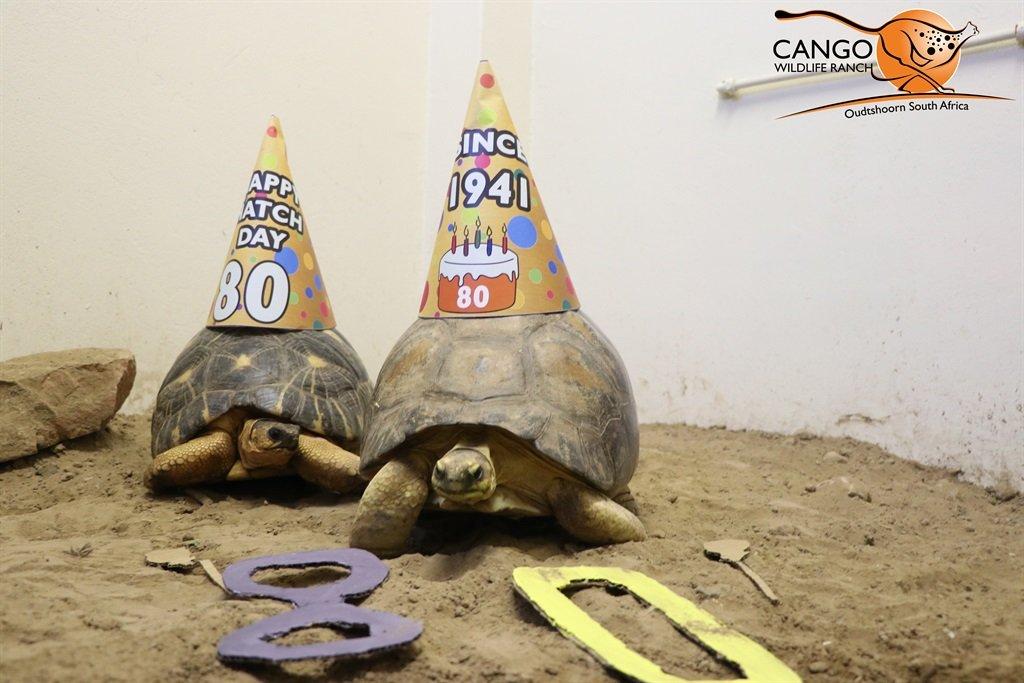 Agatha, a radiated tortoise, celebrated her 80th b
