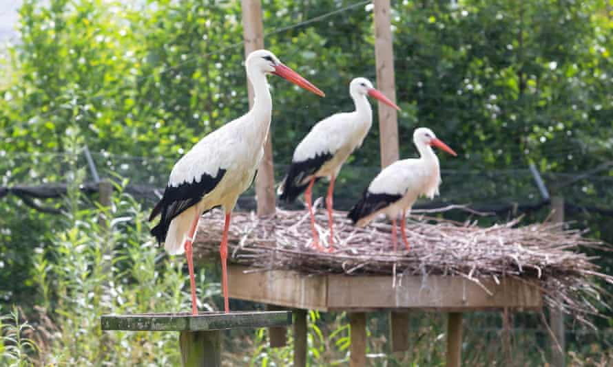 White storks are already part of the rewilding process