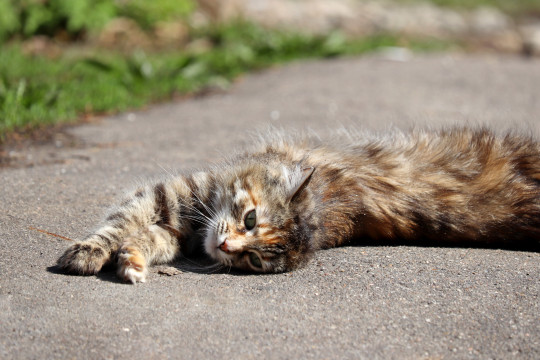 Tabby cat basking in the sun stretching out on a street