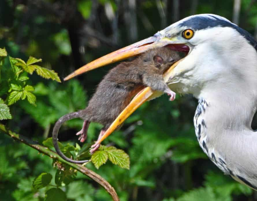 A grey heron battles a rat at Forest Farm Country Park, Cardiff, in April 2021.