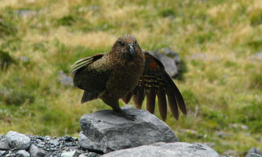 A kea, pictured in New Zealand in January 2019.
