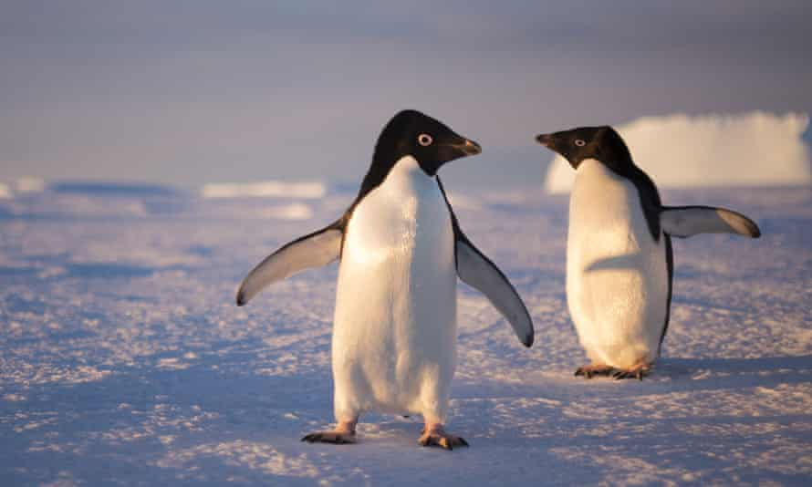 A pair of Adelie penguins, Antarctica, 2015.