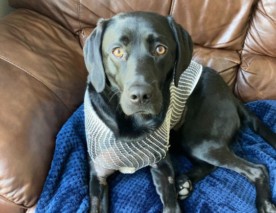 WESSEX NEWS AGENCY email news@britishnews.co.uk mobile 07501 221880 Jim Hardy Molly is Bitain's luckiest Labrador - she survived after a tree branch impaled her and speared 40cm inside her chest. Molly, a 17-month-old black Labrador, was chasing a ball down a hill near her home in Burton-on-Trent when she accidentally ran into the metre-long branch.