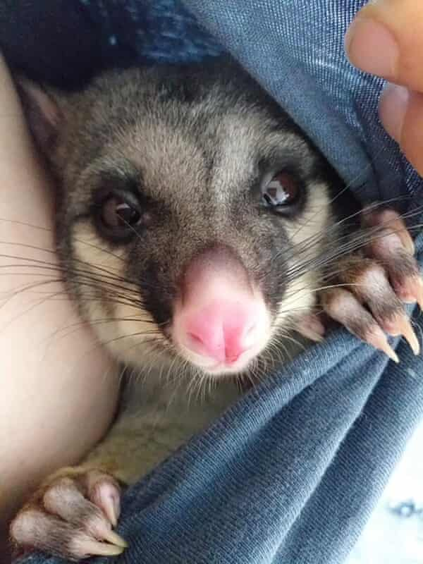 Eddie the possum. Some people in New Zealand are housing possums. New Zealand's possum population means they are seen as a pest.